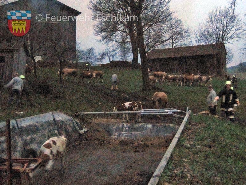 Rinder-eintreiben