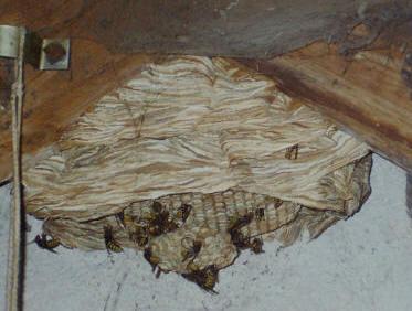 Hornissen sind unsere größte Wespenart.